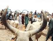 حیدر آباد: مویشی منڈی میں خریداروں کے رش کا منظر۔