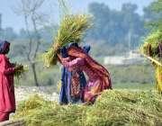 لاڑکانہ: کاشتکار خواتین اپنے کھیت میں روایتی انداز میں چاول کی فصل ..