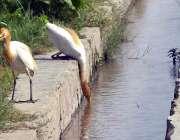 ملتان: پرندے گرمی اور پیاس کی شدت کم کرنے کے لیے پانی پی رہے ہیں۔