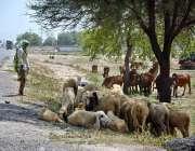 فیصل آباد: بھیڑی بکریاں وغیرہ گرمی کی شدت سے بچنے کے لیے درخت کے سائے ..