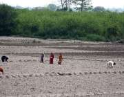 لاہور: کسان خواتین کھیت میں روز مرہ کام میں مصروف ہیں۔