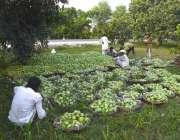 ملتان: مزدور باغ میں بیٹھے آم چھانٹی کر رہے ہیں۔