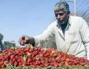 لاہور: ریڑھی بان گاہکوں کو متوجہ کرنے کے لیے سٹرابری سجا رہا ہے۔
