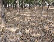لاہور: مقامی پارک میں درختوں سے زمین پر گرنے والے سوکھے پتے خوبصورت ..