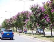 اسلام آباد: وفاقی دارالحکومت میں سڑک کنارے لگے درختوں پر کھلے موسمی ..
