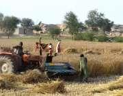 سرگودھا: کسان کھیت میں گندم کی کٹائی میں مصروف ہیں۔