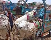 حیدر آباد: شہری قربانی کے خریدکے گئے جانور کو ٹرک پر چڑھا رہے ہیں۔