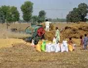 ملتان: کسان گندم کی تھریشنگ میں مصروف ہیں۔