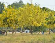 اسلام آباد: وفاقی دارالحکومت میں سڑک کنارے لگے درختوں پر کھلے پھول ..
