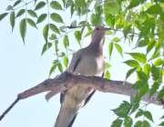 ملتان: درخت کی شاخ پر بیٹھا پرندہ دلکش منظر پیش کررہا ہے۔