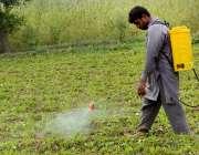 فیصل آباد:کسان فصل پر اسپرے مشین سے کیڑے مار دوا چھڑک رہا ہے۔