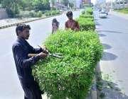 حیدر آباد: ایچ ایم سی اہلکار روڈ ڈیوائیڈر پر لگے پودوں کی شاخیں تراش ..