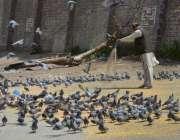 ملتان: ایک شہری کبوتروں کو دانہ ڈال رہا ہے۔