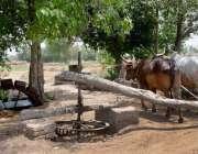 فیصل آباد: بیلوں کی مدد سے کنویں سے پانی نکالا جا رہاہے۔