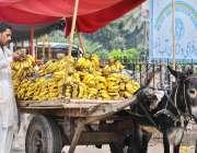 ملتان: ریڑھی بان گاہکوں کو متوجہ کرنے کے لیے کیلے سجا رہا ہے۔