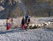 گلگت: چرواہا اپنی بھیڑ بکریاں چرا رہا ہے۔