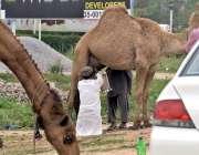 راولپنڈی: شہری خانہ بدوش سے اونٹنی کا دودھ خرید رہا ہے۔