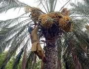 فیصل آباد: کسان درخت سے تازہ کھجوریں توڑرہا ہے۔