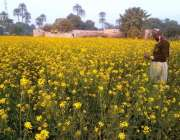بہاولپور: کھیت میں کھلے سرسوں کا دلکش منظر۔