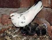 فیصل آباد: کبوتری اپنے بچوں کی دیکھ بھال کرتے ہوئے۔