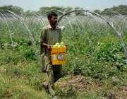 فیصل آباد: کسان کھیت سے تازہ سبزی چن رہا ہے۔