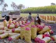 چنیوٹ: کسان مارکیٹ میں سپلائی کے لیے آلو بوریوں میں پیک کر رہے ہیں۔