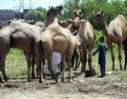 لاہور: عید قرباں کی آمد کے موقع پر مویشی منڈی میں قربانی کے جانور لائے ..