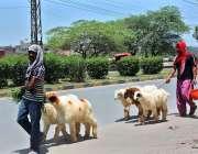 فیصل آباد: بیوپاری چھترے فروخت کے لیے لیجا رہے ہیں۔