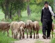 راولپنڈی: نوجوان چرواہا دمبے چرا رہا ہے۔