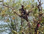 اسلام آباد: وفاقی دارالحکومت میں بچے ایک درخت سے کچنار توڑ رہے ہیں۔