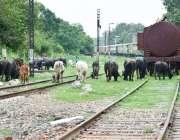 لاہور: پابندی کے باوجود دھرم پورہ ریلوے ٹریک پر بھینسیں چر رہی ہیں۔