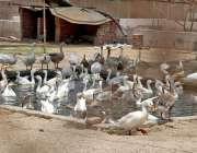 حیدر آباد: بطخیں گرمی کی شدت کے باعث نہا رہی ہیں۔