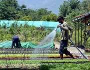 اسلام آباد: مزدور نرسری میں پڑے پودوں کو پانی دے رہاہے۔