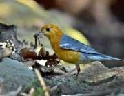 اسلام آباد: پرندہ پہاڑیوں سے اپنے بچوں کے لیے خوراک جمع کر رہا ہے۔