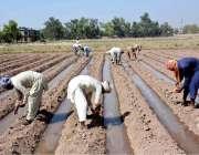 فیصل آباد: کسان روایتی انداز سے کھیت میں فصل بو رہے ہیں۔