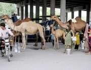 لاہور: خانہ بدوش خاتون اونٹنی کا دودھ فروخت کرنے کے لیے گاہکوں کا انتظار ..