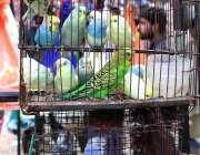 حیدر آباد: دکاندار نے گاہکوں کو متوجہ کرنے کے لیے طوطے سجا رکھے ہیں۔