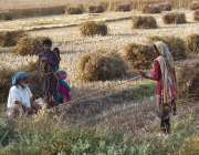 سرگودھا: کسان فیملی کھیت میں گندم کی گٹھیاں بنانے میں مصروف ہیں۔