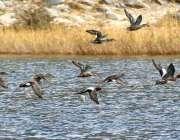 ہنزہ: نیدرلینڈ سے ہجر کر کے پاکستان کی جانب آنیوالے پرندے خواراک کی ..