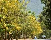 اسلام آباد: وفاقی دارالحکومت میں سڑک کنارے لگے درخت دلکش منظر پیش کر ..