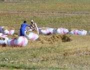 ملتان: کسان کھیتوں میں پرالی کے گٹھڑیاں باندھ رہے ہیں۔