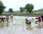 فیصل آباد: کسان روایتی انداز سے چاول کی فصل بو رہے ہیں۔