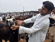 پشاورشہری مویشی منڈی میں قربانی کے لیے جانور پسند کررہا ہے۔