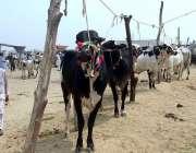 راولپنڈی: روات مویشی منڈی میں قربانی کے جانور لائے گئے ہیں۔