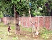 لاہور: دو بزرگ درخت سے جام توڑ رہے ہیں۔
