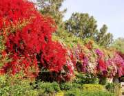 اسلام آباد: وفاقی دارالحکومت میں سڑک کنارے کھلے موسمی پھول خوبصورت ..