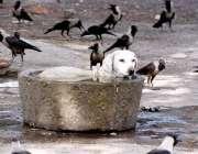 لاڑکانہ: گرمی کی شدت کم کرنے کے لیے (کتا) پانی میں بیٹھا ہے۔