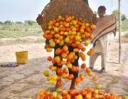 فیصل آباد: کسان کھیت سے ٹماٹر چن کر ایک جگہ پر ڈھیر لگا رہا ہے۔
