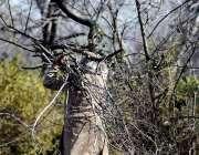 اسلام آباد: شہری گیس قلت کے باعث جلانے کے لیے جنگل سے لکڑیاں اکٹھی کر ..