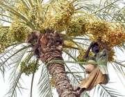 لاڑکانہ: کسان کھجور کے درخت سے تازہ کھجوریں توڑ رہا ہے۔